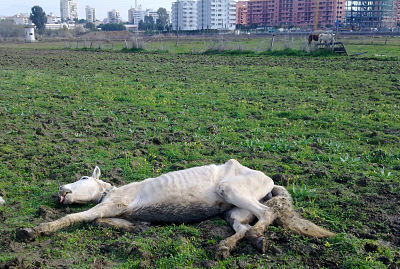 En Fuengirola rescataron en 2016 a esta yegua moribunda que tenía una soga atada al cuello.