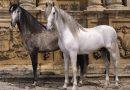 Fustazo judicial al caballo cartujano