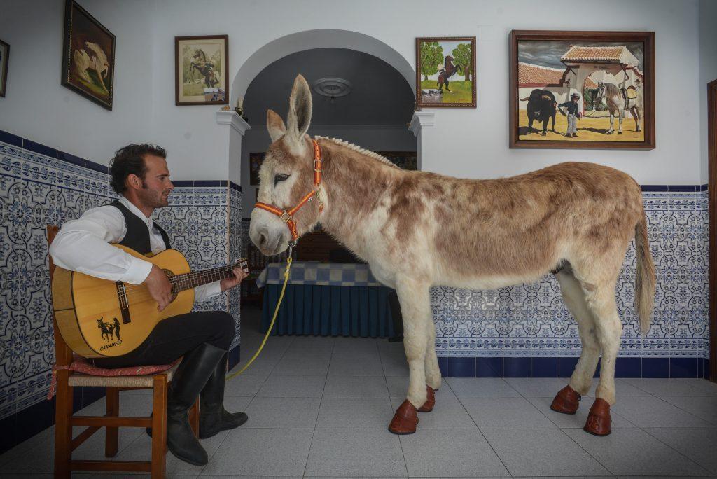 En Montellano, Sevilla, todos conocen al burro Caramelo, que oye relajado el cante de su jinete, Carlos Román, en el distribuidor de la casa, el pasado miércoles. (Fotos y video: Borja Benjumeda para Horse Press)
