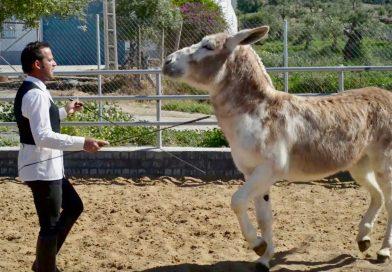 En Montellano, Sevilla, todos conocen al burro Caramelo, que el miércoles ensayaba la inminente temporada. (Fotos y video: Borja Benjumeda para Horse Press)