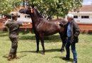 Yeguada Militar adjudica en Jerez 39 caballos en 120 mil euros