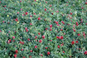 La flor autóctona y espontánea llamada zulla.