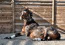 Cómo conseguir la impulsión en un caballo gandul