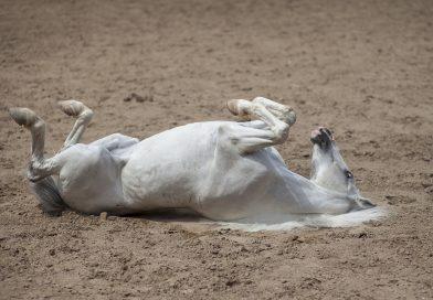 Por qué hay que pasear al caballo con cólico intestinal