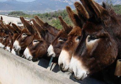 Burros catalanes esperando la comida en el pesebre del centro de conservación de la especie.