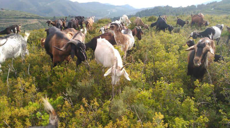 Ejemplares de cabra payoya gaditana pastando estos días en la finca de la ganadería La Segalla, en Tarragona.
