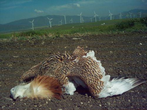 La avutarda Jorge, el último ejemplar de la especie que se vio en Tahivilla murió en 2006 electrocutado en los cables de alta tensión.