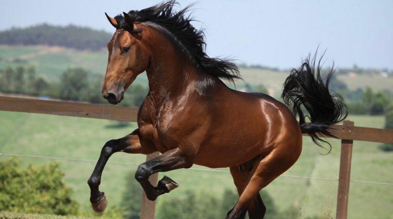 Corsario, caballo lusitano de la coudelaria brasileña Interagro.