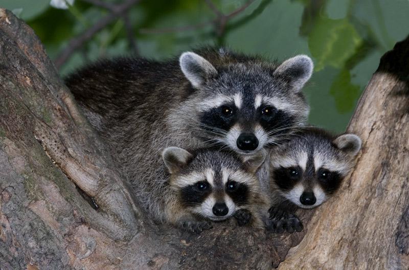 El mapache americano puede que no esté extinguido de los parques naturales del río Guadalquivir. Fuente: animaexoticos.com