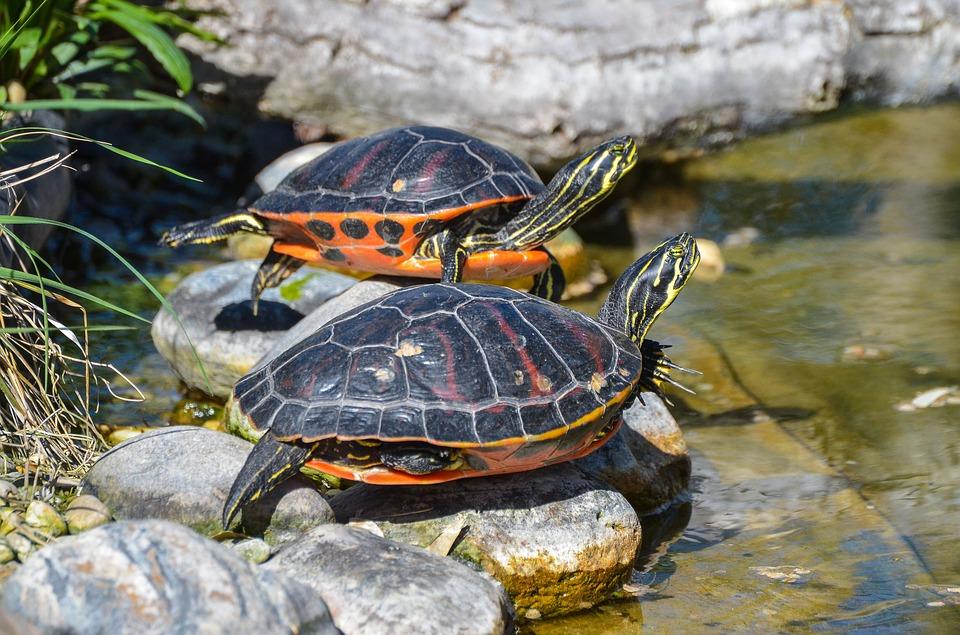 La tortuga de Florida fue una de las primeras exóticas en presionar el ecosistema del Guadalquivir. Fuente: pregoner.es
