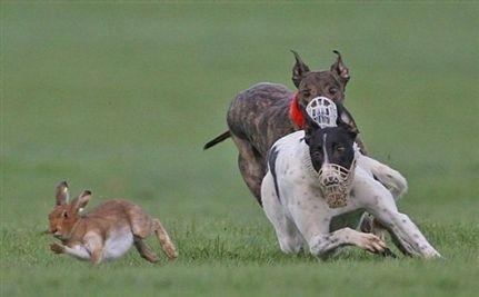 En otros países, los galgos de carreras con liebre usan bozal. Foto publicada en el diario turco gazete5.com.