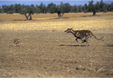 Galgo intenta alcanzar una liebre en el campo de Badajoz. Foto: Cazaworld.