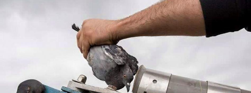 Una cría de palomo entrando en la máquina lanzadora de aire comprimido en el campeonato nacional de tiro pichón de 2016. Foto: Pacma.