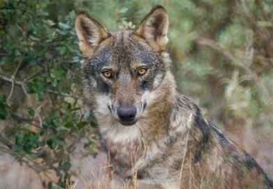 Lobo ibérico. Fuente: aherca.com.