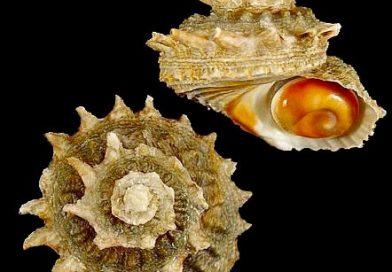 Ejemplar de Astraea rugosa con la orejita de mar publicado en alboranshells.com