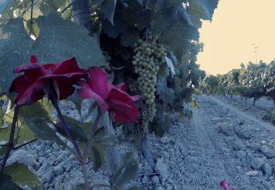 Rosales protectores de la uva del Tío Pepe en la viña La Canariera, de González Byass, esta mañana, en Jerez.
