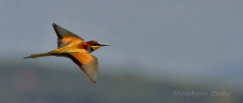 Abejaruco europeo en vuelo sobre la laguna de La Janda.