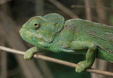 El hábitat del camaleón ha cambiado de color