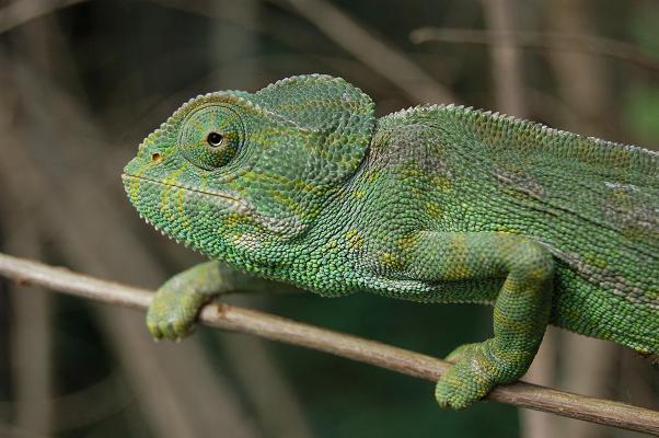 Camaleón común. Foto: Mariano Cuadrado. Cortesía del Zoo Botánico de Jerez.