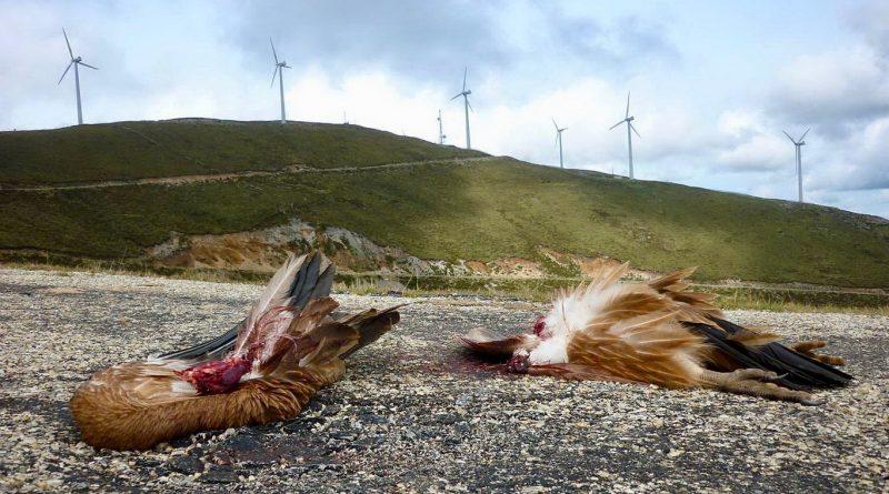 Dos pájaros abatidos por aerogeneradores en los parques eólicos del Estrecho de Gibraltar. Fuente: analajanda.org.