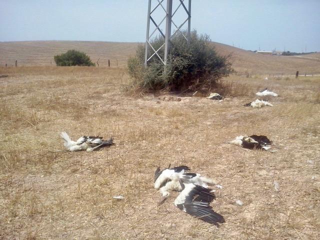 En las inmediaciones del vertedero de Medina Sidonia yacen diariamente decenas de cadáveres de planeadoras que chocaron con cables eléctricos en la búsqueda de comida fácil. Imagen reciente alojada en el portal Pon Un Tendido En Tu Punto de Mira.
