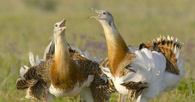 La avutarda común, especie esteparia amenazada cuyo hábitat gaditano coincide con el necesario para producir energía solar.